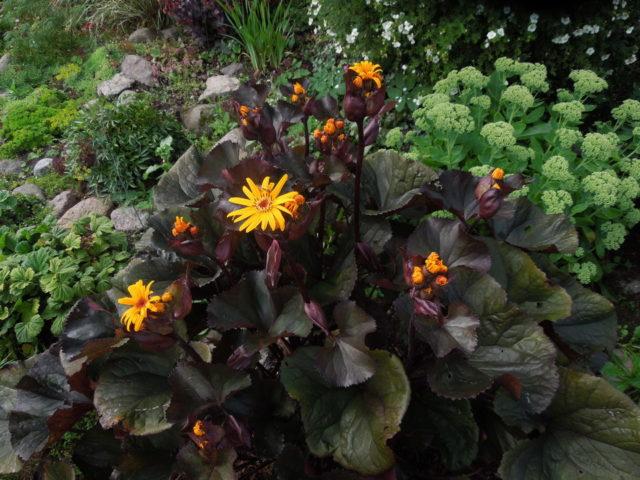 Лигулярии (бузульники): все сорта и виды, фото цветов, отзывы
