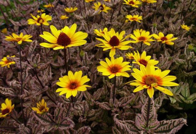 Солнечник (гелиопсис): виды и сорта, фото подсолнечниковидного