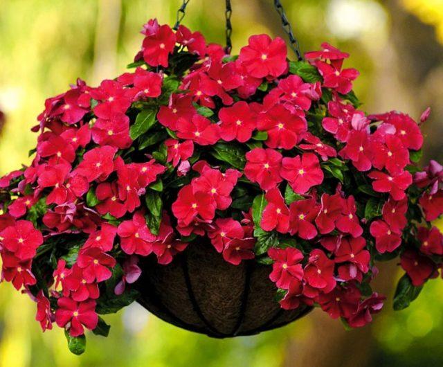 Комнатный барвинок: посадка и уход, фото растения в кашпо