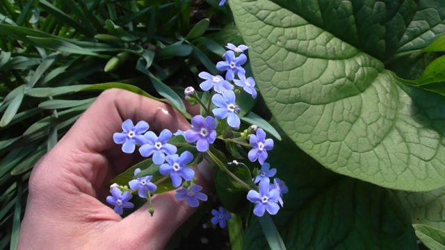 Бруннера сибирская: описание, как выращивать, фото