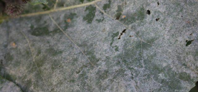 Бруннера Jack Frost (Джек Фрост): описание сорта, фото