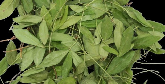 Барвинок: лечебные свойства и применение, фото травы