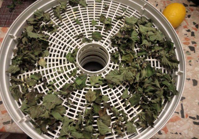 Сушеная крапива: полезные свойства, как сушить в домашних условиях