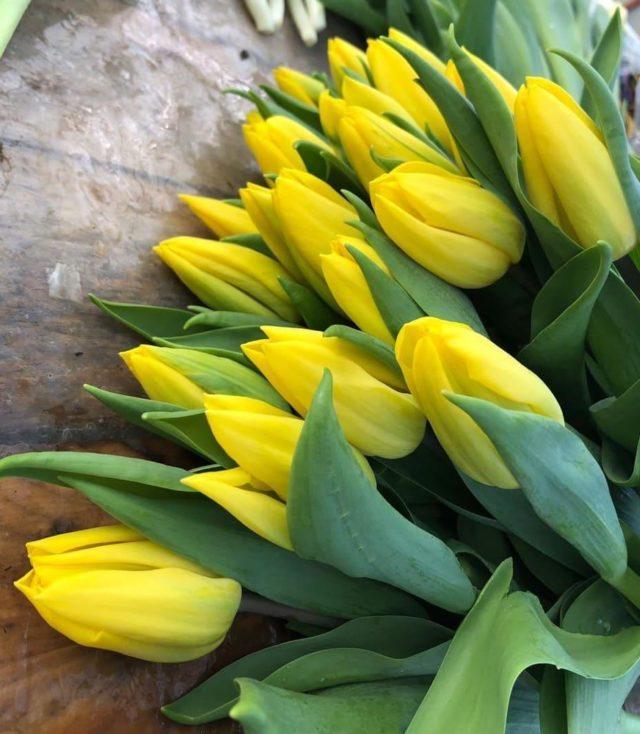 Тюльпан Strong Gold (Стронг Голд): описание сорта, фото