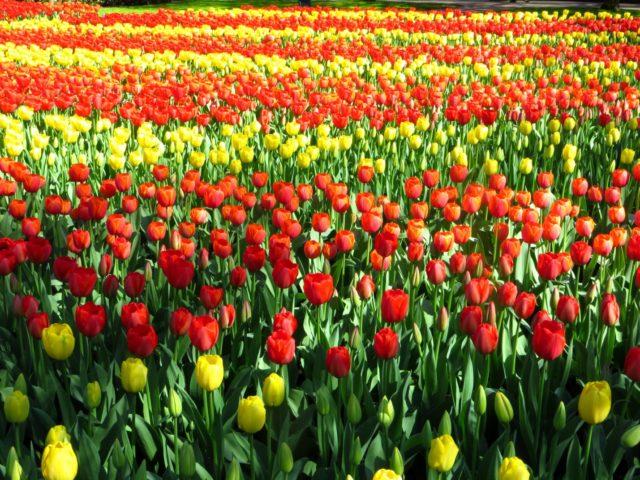 Как размножать тюльпаны в домашних условиях