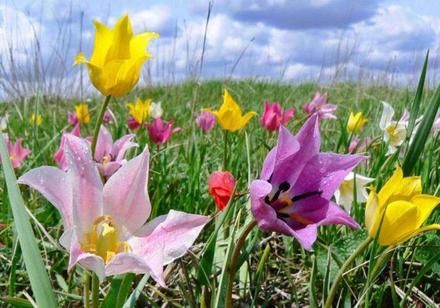 Тюльпан Геснера (Шренка): описание, фото растения из Красной книги