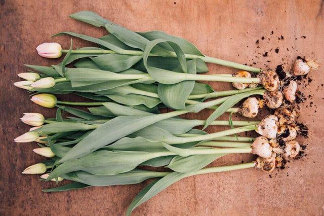Тюльпан Strong Love (Стронг Лав): описание сорта, фото