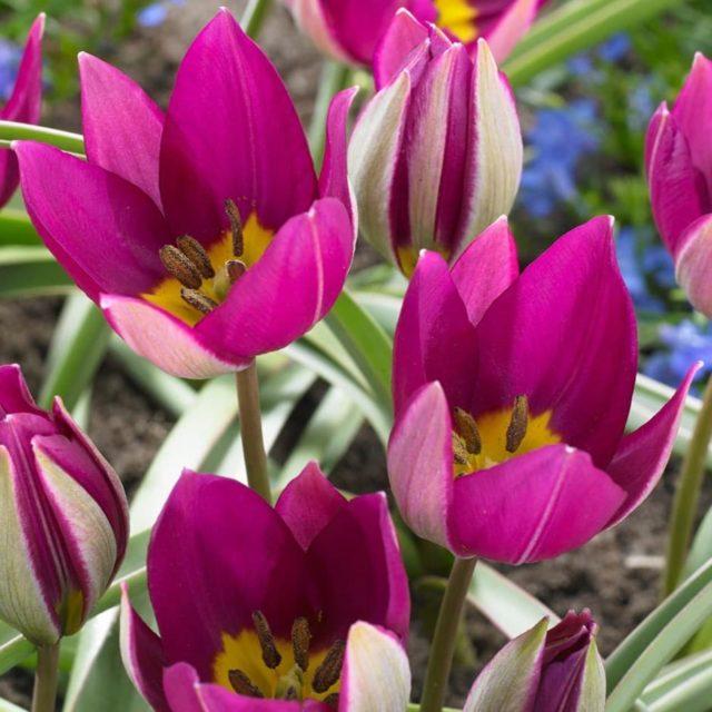 Карликовый тюльпан: описание, фото, сорта, занесен ли в Красную книгу