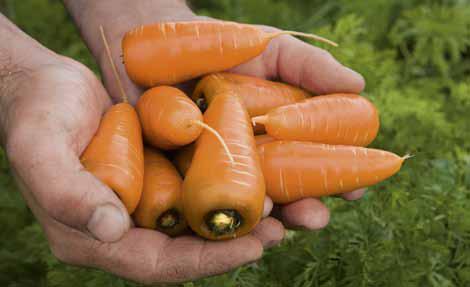 Как называется маленькая морковка