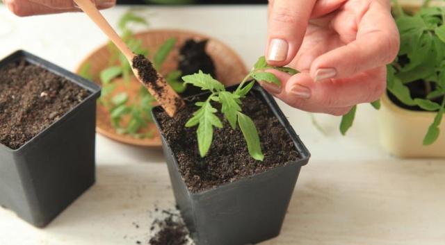 как сделать рассаду помидор толстой