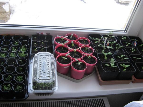 При какой температуре растет рассада помидоров