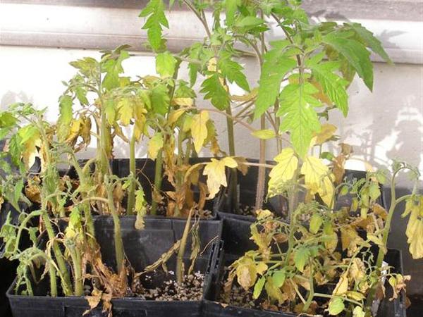 Почему сохнут листья у рассады помидор на подоконнике