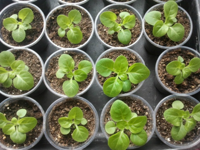 всходы петунии семена через сколько
