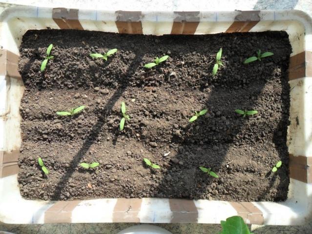 Причины гибели рассады помидор после высадки в грунт