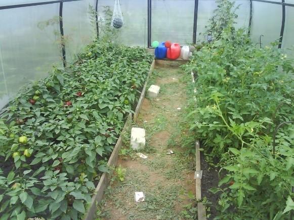 Как выращивать помидоры в теплицы из поликарбоната?