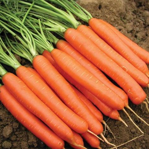 Морковь посадка и уход в открытом грунте в сибири