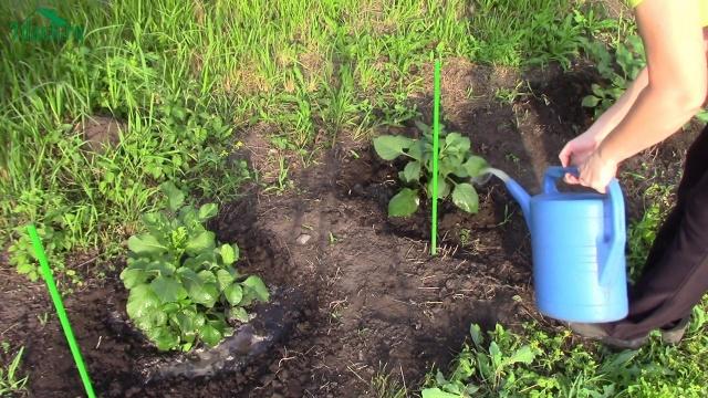 Однолетние георгины посадка и уход в открытом грунте весной
