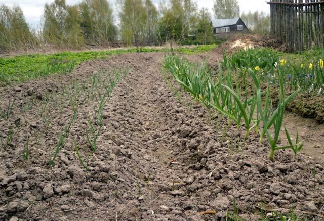 весенние подкормки озимого лука при капельном поливе