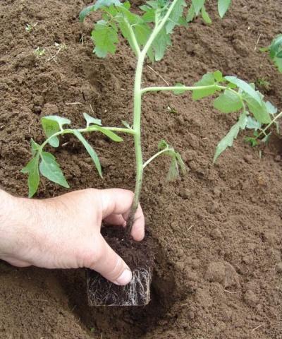 высаживание рассады помидор в открытый грунт