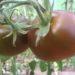 Томат Сахар коричневый: характеристика и описание сорта