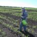 Подкормка кукурузы: нормы, карбамидом, селитрой, цинковыми удобрениями