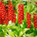 Черная и красная смородина: лучшие сорта для Урала
